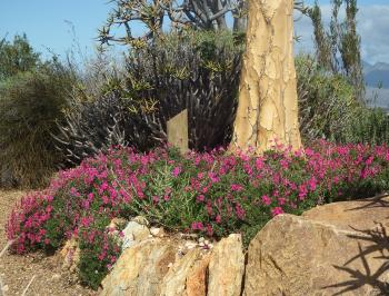 Pelargonium sericifolium in the Karoo Desert NBG