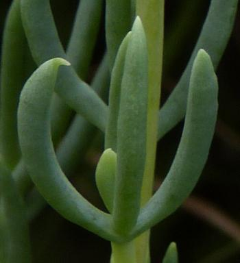 The glaucous, softly succulent leaves of Roosia lucilleae.