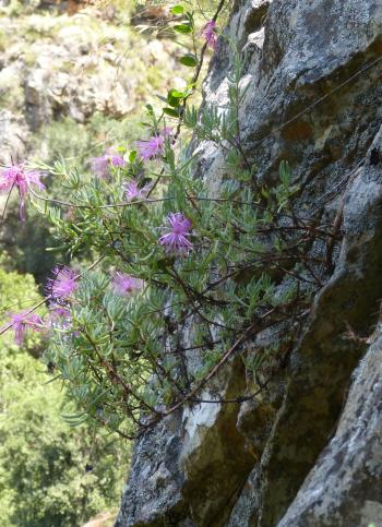 Roosia lucilleae in flower on a cliff in Dome Kloof (Lucille Krige).