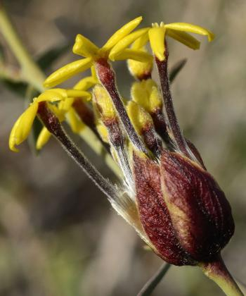 Lasiosiphon rigidus, flowers in terminal heads surrounded by yellow-red papery bracts. (John Manning)