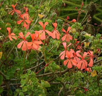 Pelargonium salmoneum, bright salmon-pink flowers in winter, spring and early summer.