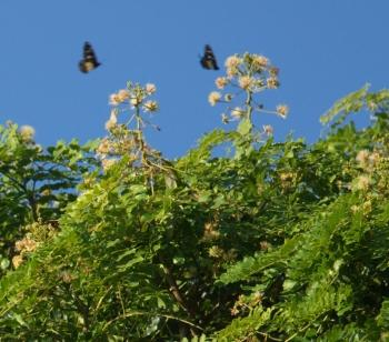 Albizia suluensis flowers are visited by butterflies (Geoff Nichols)