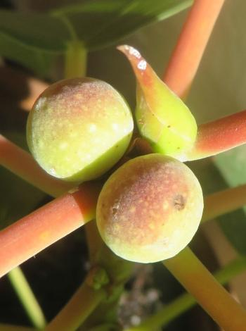The small figs of Ficus muelleriana in cultivation at Stellenbosch.