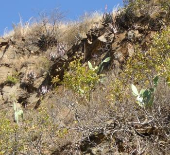 Emerging prickly pear is one of the evident threats to the habitat of Aloe reitzii var. vernalis.