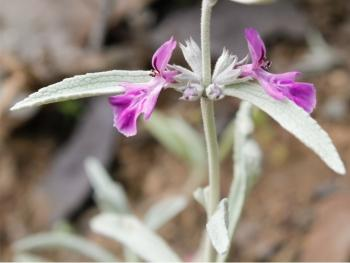 Stachys rugosa (Adam Harrower)