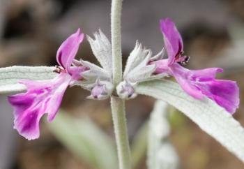 Stachys rugosa, 2-lipped flowers in spring and summer. (Adam Harrower)