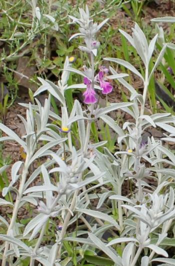 Stachys rugosa, whorls of 2-6 flowers in short terminal inflorescences. (Adam Harrower)