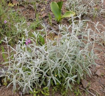Stachys rugosa, growing in habitat. (Adam Harrower)