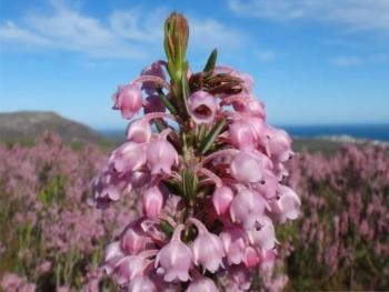 Erica irregularis, Grootbos Private Nature Reserve.