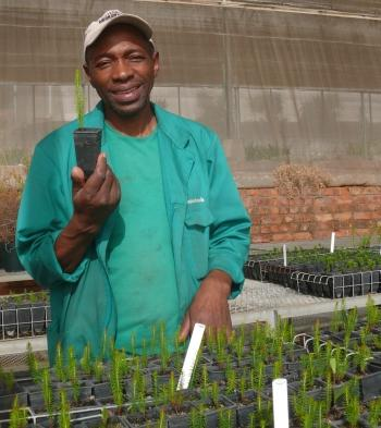 Ntsindiso Zide with Erica irregularis seedlings in the Kirstenbosch Collections Nursery.