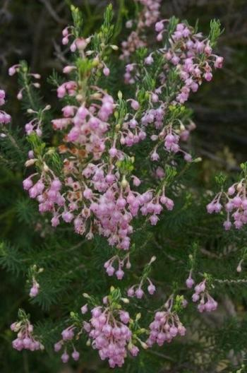 Erica irregularis (Sean Privett)
