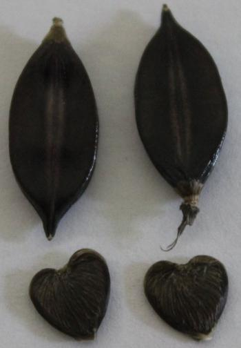 Barleria lichtensteiniana, seed capsule (top) and seed (bottom).