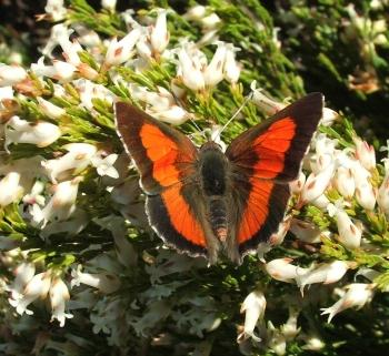 Erica lutea, with Protea Scarlet butterfly, Swartkop.