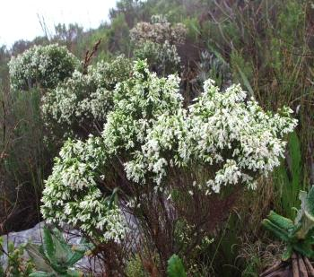 Erica lutea, growing in Silvermine, Cape Peninsula.