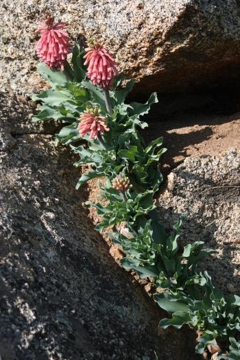 Veltheimia capensis growing in a crevice of a granite outcrop.