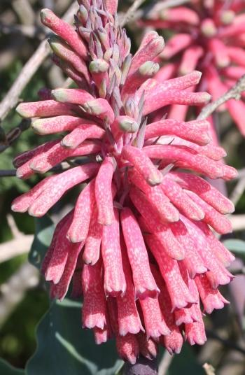 Veltheimia capensis, speckled flowers.