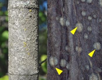 Trunk (left) and young stem (right) with lenticels (indicated with arrows).