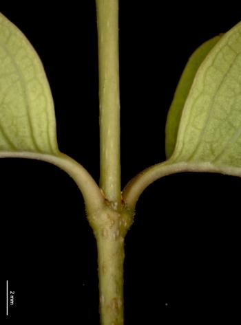 Young stem with opposite leaves at the node and young lenticels.