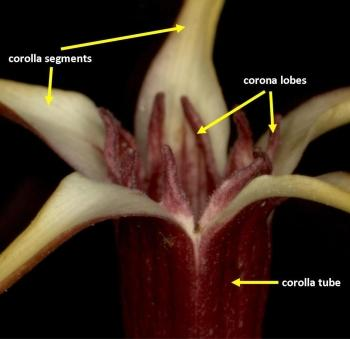 Close-up of the mouth of a flower showing the corolla segments and tube and also the paired tooth-like corona lobes at the base of each segment.