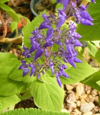 Plectranthus tenuicaulis flowering in autumn at Kirstenbosch National Botanical Garden.