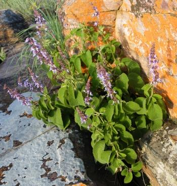 Plectranthus tenuicaulis growing wild on the escarpment of south-western Angola, at Zootec near Lubango.
