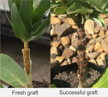Mimetes splendidus, a fresh graft (left) and a successful graft (right).