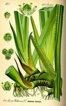 Acorus calamus.Illustration from 1885-  from Wikipedia