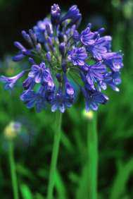 Agapanthus caulescens subsp. gracilis (formerly A. nutans)