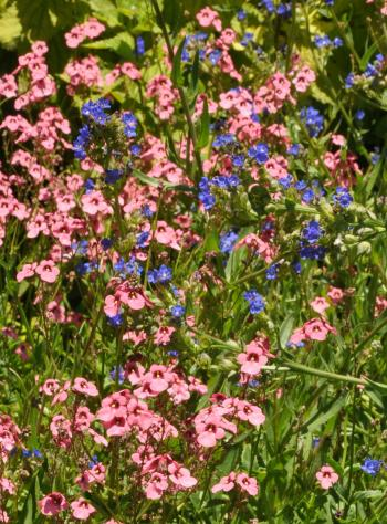 Anchusa capensis and Diascia integerrima flowering in mid-summer