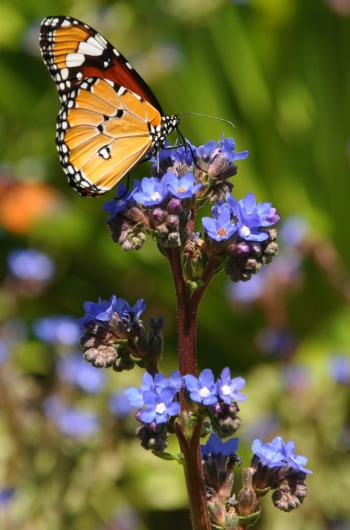 Anchusa capensis is visited by African Monarch butterflies at Kirstenbosch