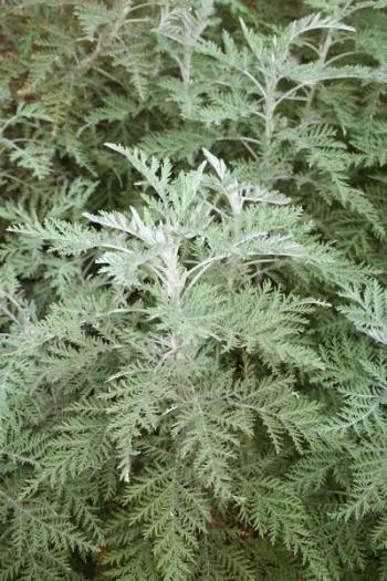 Artemisia afra, attractive silvery fern-like foliage