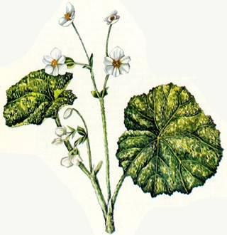 Begonia geranioides drawing