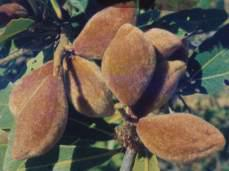 Almond like fruits