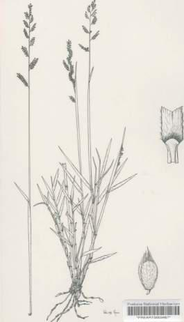 illustration of Brachiaria serrata