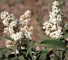 Buddleja salviifolia, white flowers