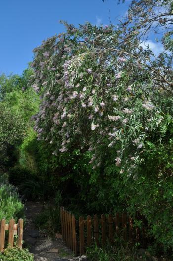 Buddleja Salviifolia Plantzafrica