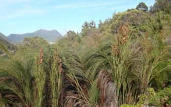 Growing at Constantia Neck in the Cape Peninsula