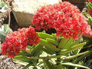 Crassula perfoliata var. coccinea flowering at Kirstenbosch in the Mathews Rockery