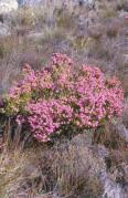 Erica sp. amongst restios on the east-facing slopes of Keeromsberg, Western Cape