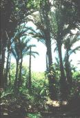 Palm forests in northern Zululand.
