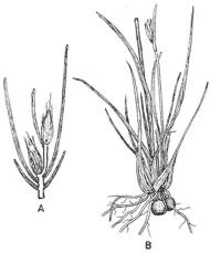 Drawing of T. capensis