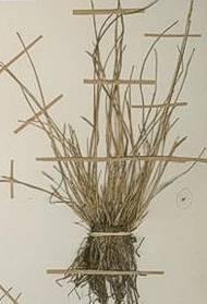 T. solitaria plant